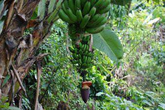 Bananen in Materuni