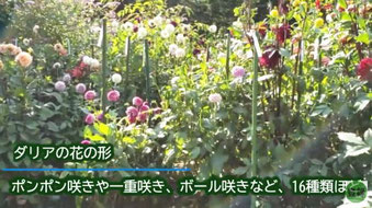花かご作りの花をカットする
