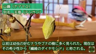 山繭(ヤママユ)