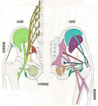 骨盤内の筋(起始:停止)