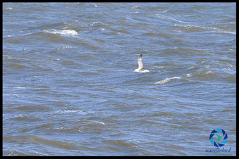 Fulmar offshore on the sea