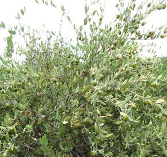 ❦ 蜜蜂による受粉によりホホバ種子(原種)が今では完熟中です。グリーンカラーのホホバ種子(原種)からゴールデンカラーに完熟してきました♥