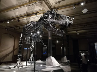 Tristan, der T-Rex im Naturkundemuseum
