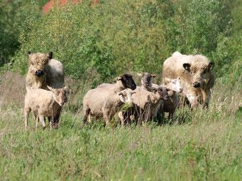Galloways und Ziegen fühlen sich in der Auenlandschaft wohl. - Foto: Kathy Büscher