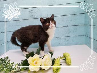 エキゾチック子猫の激安販売【関東・埼玉】ブリーダーから直接お迎えで、安心・安い!
