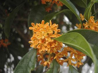 金木犀の花の画像