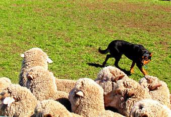 dieser resolute Hirtenhund bringt seine Schafherde in den Pferch