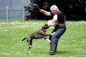 Boxer Hund vonderwaldnielerheide Schutzdienst