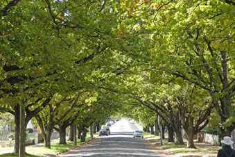 English oaks in Autumn Street, Orange