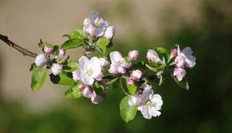 Blüten des Apfelbaums (© 2014, Th. Metz)