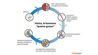 L'irisina bruciagrassi, il metabolismo è più attivo per dimagrire