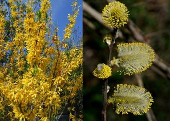 """Forsythie (links): Für Bienen ein """"Reinfall"""", Salweide (rechts): Für Auge und Natur ein Gewinn. Fotos: Thomas Staab und Dr. Eberhard Pfeuffer, LBV-Bildarchiv"""