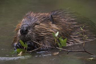 Lecoin-nature propose une excursion nature sur le thème du castor.