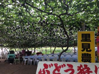 桃 ブドウ狩り 現地