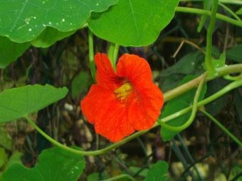 Gartenkresse ein natürliches Antibiotikum!