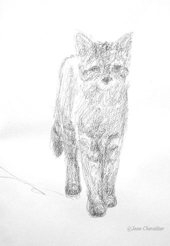 Chat forestier, croquis Jean Chevallier