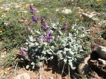 Salvia phlomoïdes africana, nouvelle plante-hôte (2015) observée pour P. fatma dans le Moyen Atlas