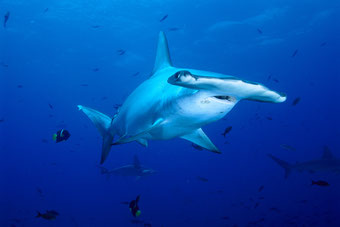 Hammerhaed sharks Band Sea Diving Liveaboard Indonesia Tidak Apa'Pa