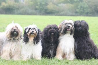 """Tibet Terrier-Zwinger """"Sumanshu"""""""
