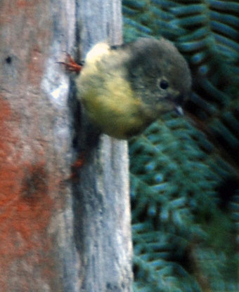 Tomtit doing vertical cling-on, Ackers Path, Stewart Island.