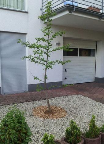 Passt wie angegossen - Neupflanzung nach erfolgreicher Baumfällung in Köln