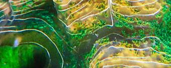 Hippopus Giant Clam Muschel