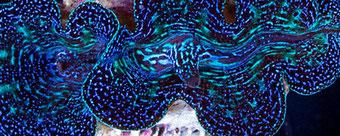 Muschel Tridacna Crocea Giant Clam