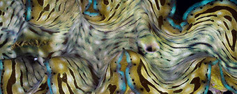 Muschel Tridacna Squamosa Giant Clam