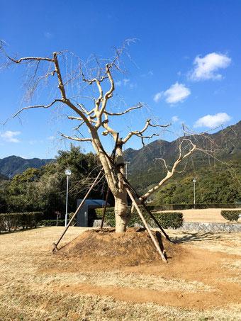 ふだらく霊園の枝垂れ桜
