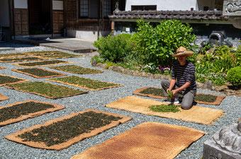 妙法山の茶摘み