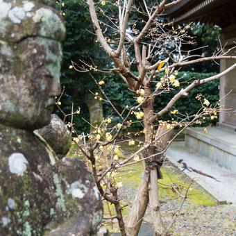 熊野妙法山 阿彌陀寺 蝋梅