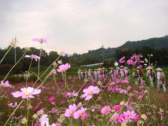 コスモスの咲き乱れる山の邊の道