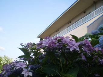 こちらは中庭に咲く、満開のアジサイ