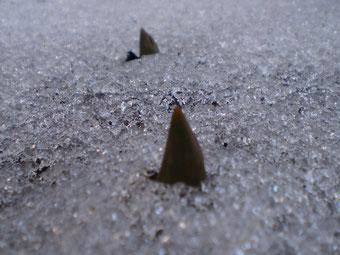 雪の下からも力強く芽を出していました