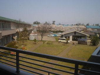 おとなり「犀潟鉄工所」の桜並木が満開の時を迎えました
