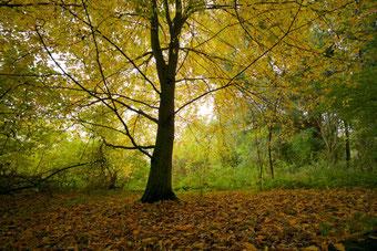 Pflanzentherapie Wechseljahre, Buche im Herbst, in Würde altern