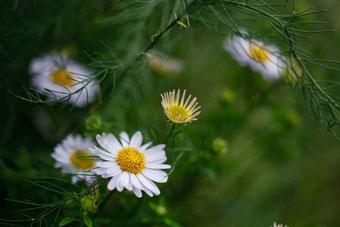Chamomilla Pflanzen bei Neurodermitis,
