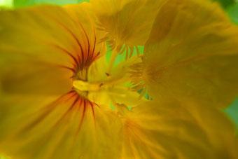 Tropaeolum, Frauenheilpflanzen, Pflanzen für Zystitis und Scheidenpilze, Dr. Claudia Wirz, Heilpraxis Heilbronn, Frauenheilkunde, Homöopathie