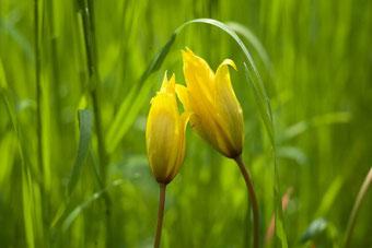 Pflanzentherapie, Globuli, Schwangerschaft, Liliaceae