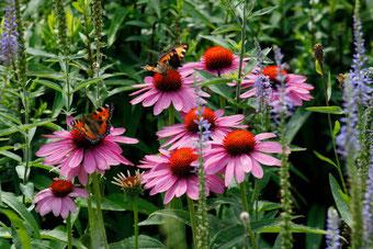 Echinacea Pflanzen fürs Immunsystem, immunabwehrsteigernd