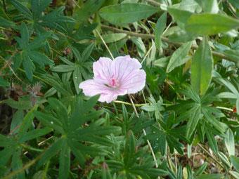 Geranium sanguineum Vision melrosa