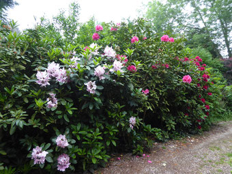 """Rhododendron """"Christmas Cheer"""""""