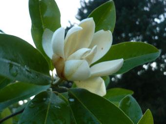 "Magnolia virginiana ""John Wilson Moonglow"""