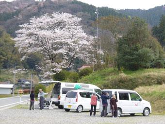 見事な枝垂桜です