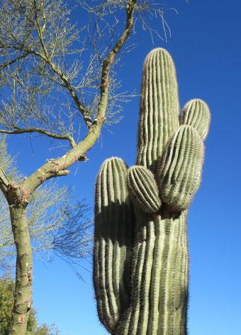 ∞ 明けましておめでとうございます❣ 本年度も隣々会をどうぞ宜しくお願い申し上げます。 上写真: サボテン アリゾナ州にて