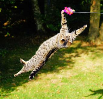 Katze macht einen Salto in der Luft
