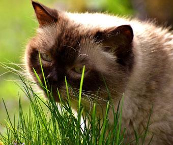 Katze frisst Katzengras aus der Natur