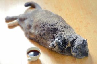 Graue Katze mit Übergewicht