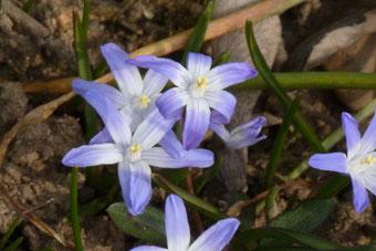 Blausterne (Foto © Renate Fachinger)