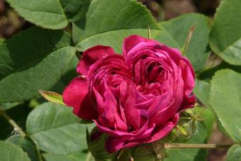 Rose de Resht (Foto © Renate Fachinger)